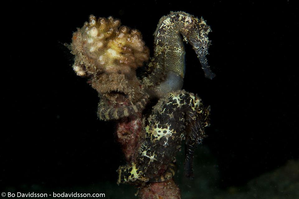 BD-140314-Padre-Burgos-2148-Hippocampus-kuda.-Bleeker.-1852-[Spotted-seahorse.-Gul-sjöhäst].jpg